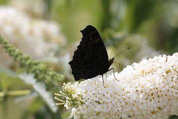 Dagpauwoog vlinder op witte Buddleia van Cora Unk