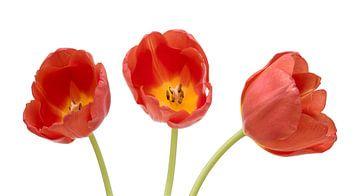Trois tulipes rouges sur Peter van Dam