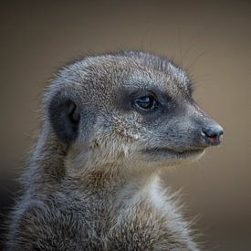 Erdmännchen (Suricata suricatta) von Ursula Di Chito