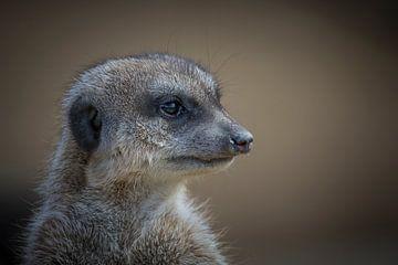 Suricata suricatta van Ursula Di Chito