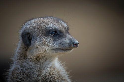 Erdmännchen (Suricata suricatta) von