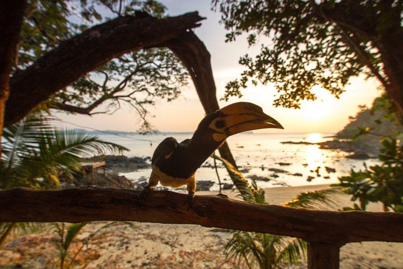 Nashornvogel auf Koh Phayam von Levent Weber