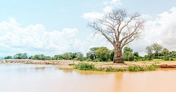 Waardige Baobab van