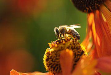 Biene auf einer blühenden Blume von Latifa - Natuurfotografie