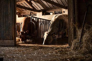 Stieren in oude stal van Danai Kox Kanters