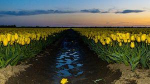 Blooming tulip fields! von Robert Kok