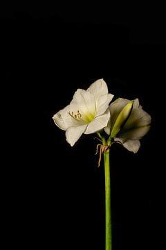 Amaryllis Blume weiß von Karl Smits