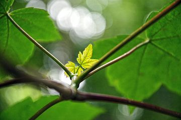 Jong blaadje in de lente van Frans Blok