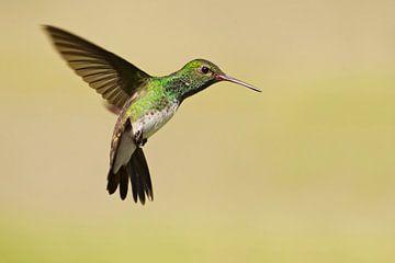 Franjeamazilia in vlucht, Brazilië  van