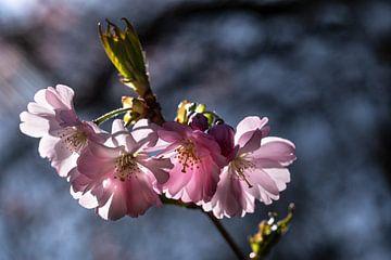 Kirschblüte von Kurt Krause