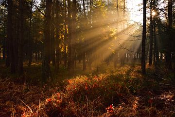 Sonnenstrahlen im Wald von Menno Selles