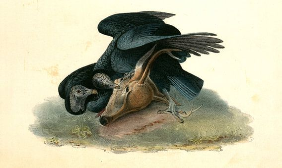 Black Vulture or Carrion Crow., Audubon, John James, 1785-1851, Zwarte Gier of Zwarte Kraai