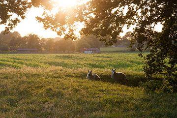 Sheep may safely graze van Bert van Wijk