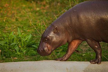 Gros plan sur le profil. Un petit hippopotame pygmée d'Afrique de l'Ouest, mignon et dodu. sur Michael Semenov