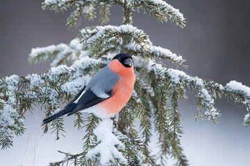 Goudvink in de sneeuw. van