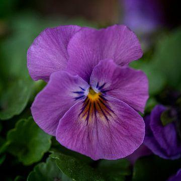 Violett von José Lanzas