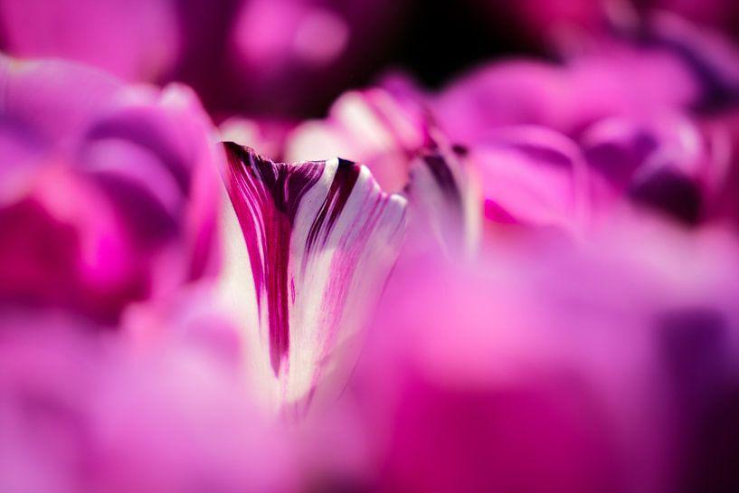 Bijzonder doorkijkje in een paars tulpenveld van Fotografiecor .nl