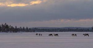 Rendieren in Pasvik Nationaal Park van Kai Müller