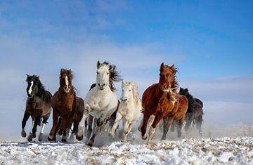 Mongolië Paarden, Libby Zhang van 1x