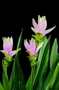 curcuma bloemen van