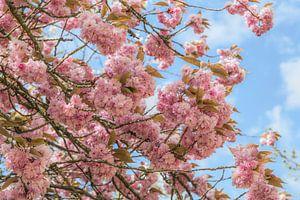 Blühende Prunus Serrulata (Japanische Kirsche )