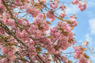 Blühende Prunus Serrulata (Japanische Kirsche ) von Mieneke Andeweg-van Rijn