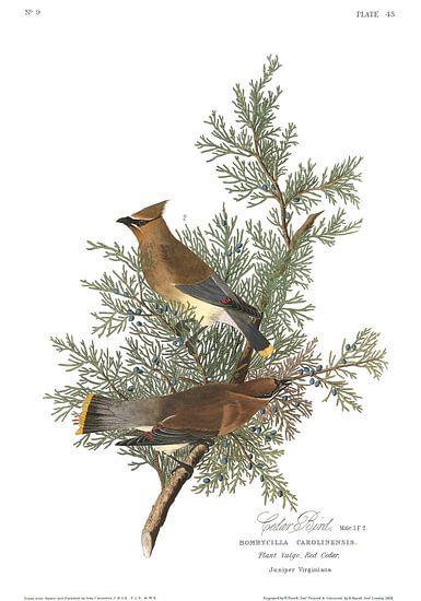 Cedar Bird van Birds of America