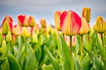 Rood - gele tulpen in een bollenveld