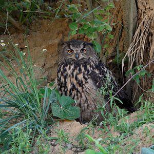 Eurasian Eagle Owl ( Bubo bubo ), resting under bushes
