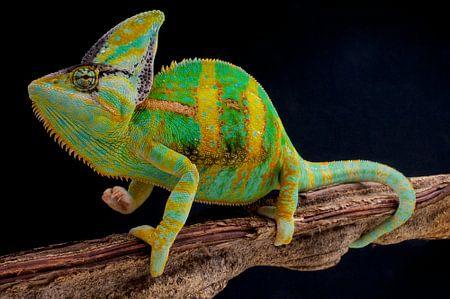 Veiled Chameleon (Jemenchamäleon)