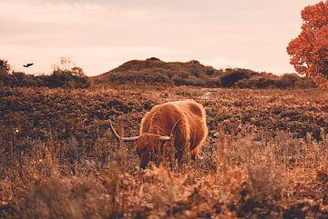 Schotse hooglander bij herfst van Hendrik Jonkman