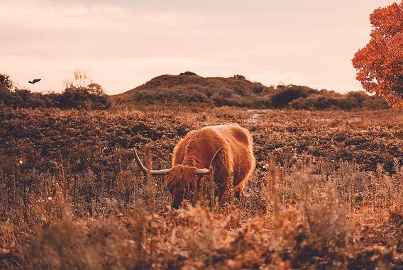 Schotse hooglander bij herfst - Heide - Bos - Natuur - Koe - Friesland - Drenthe - Schotland - Hoorn