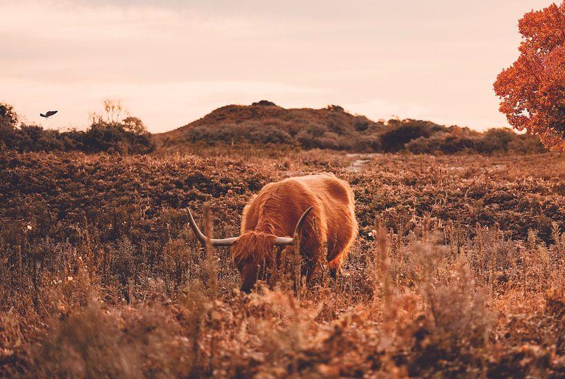 Schotse hooglander bij herfst - Heide - Bos - Natuur - Koe - Friesland - Drenthe - Schotland - Hoorn van Hendrik Jonkman