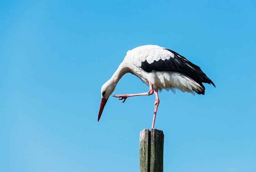 stork standing on wooden pole   von Compuinfoto .