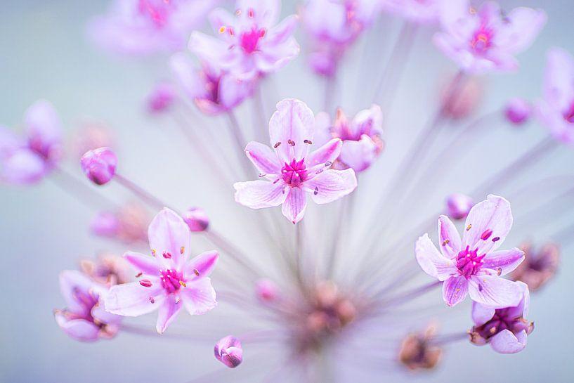 Zwanenbloem in volle bloei van Ron Poot