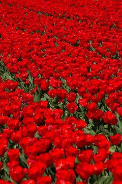 Veld met rode Tulpen van