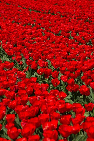 Veld met rode Tulpen van Menno Schaefer