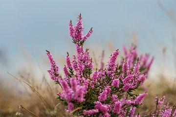 Roze heide op de Veluwe van san sober