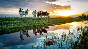 Gespiegelde koeien