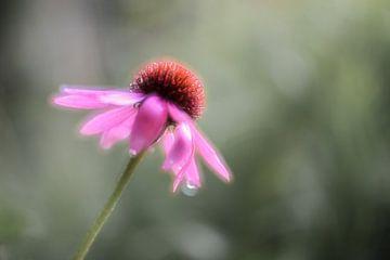 Echinecea purpurea van Tania Perneel