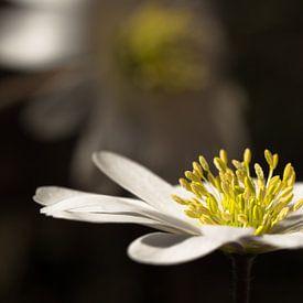 Anemoon, Witte anemoon van Leo Langen