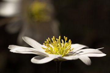 Anemoon, Witte anemoon van