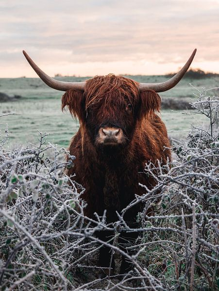 Schotse hooglander in de sneeuw van Joren van den Bos