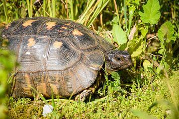 Schildpad in het gras van Maartje Abrahams