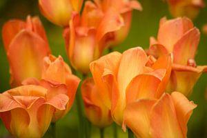 Oranje tulpen in het veld van