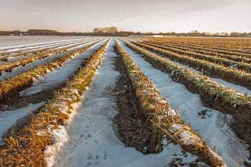 Aspergebedden in een Nederlands winterlandschap van Ruud Morijn