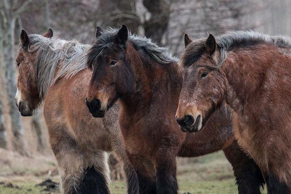 Belgisch Paard van Gert Hilbink