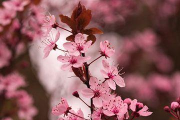Frühlingsgefühle durch japanische rosa Blüte von J..M de Jong-Jansen