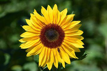 een gele zonnebloem tegen een groene achtergrond van Ulrike Leone