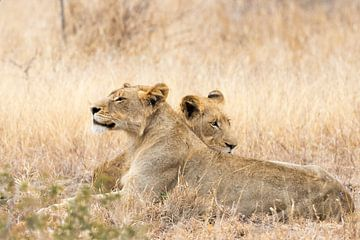 Luie jonge leeuwen van